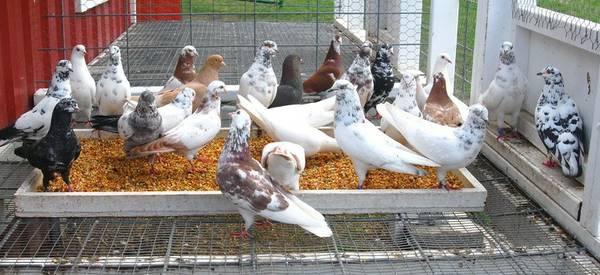 PIGEONS FOR SALE - Stichelbaut/Ganus/Bandit/Mortvedt